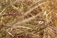 Hierbas de Brown que soplan en fondo de la naturaleza del viento fotografía de archivo libre de regalías