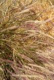 Hierbas de Brown que soplan en fondo de la naturaleza del viento fotografía de archivo