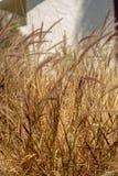 Hierbas de Brown que soplan en fondo de la naturaleza del viento fotos de archivo