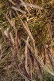 Hierbas de Brown que soplan en fondo de la naturaleza del viento imágenes de archivo libres de regalías