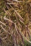 Hierbas de Brown que soplan en fondo de la naturaleza del viento imagenes de archivo