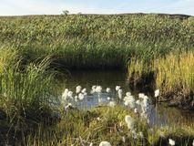 Hierbas de la tundra Foto de archivo