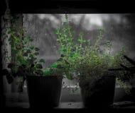Hierbas de la ventana de la cocina que producen el tomillo en el travesaño de la ventana fotos de archivo libres de regalías