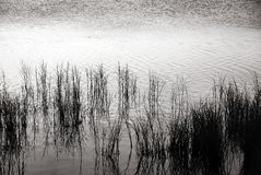 Hierbas en negro y blanco Imagen de archivo
