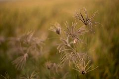 Hierbas en puesta del sol Poaceae hermoso, hierbas en el prado en la puesta del sol Fotografía de archivo libre de regalías