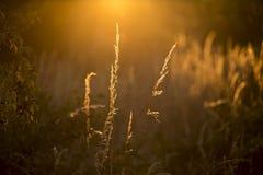 Hierbas en sol de oro imagenes de archivo