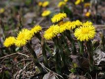 Hierbas - familia de la flor del coltsfoot Imágenes de archivo libres de regalías