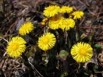 Hierbas - familia de la flor del coltsfoot Fotografía de archivo