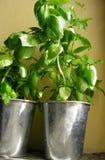 Hierbas frescas de la albahaca en crisoles Foto de archivo libre de regalías
