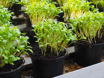 Hierbas frescas que crecen en potes imagen de archivo