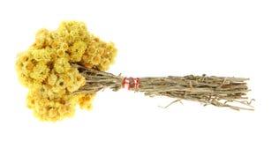 Hierbas medicinales, (Helichrysum) Imagen de archivo