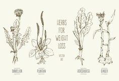 Hierbas para la pérdida de peso ilustración del vector