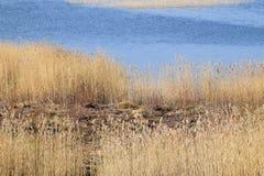 Hierbas perennes del Phragmites en humedales Foto de archivo libre de regalías