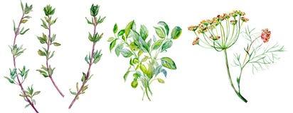 Hierbas que condimentan - eneldo, tomillo, albahaca ilustración del vector