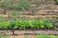 Hierbas que crecen en el invernadero, una cama en un huerto Imagenes de archivo