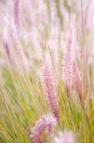 Hierbas rosadas Foto de archivo libre de regalías