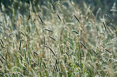 Hierbas salvajes en luz del sol del verano Imágenes de archivo libres de regalías