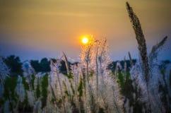 Hierbas salvajes en tiempo de la puesta del sol Foto de archivo libre de regalías