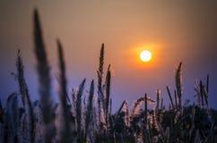 Hierbas salvajes en tiempo de la puesta del sol Imagen de archivo