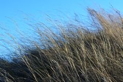 Hierbas secas en el fondo del cielo azul Día ventoso imagen de archivo