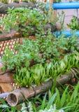 Hierbas tailandesas de la planta Fotografía de archivo