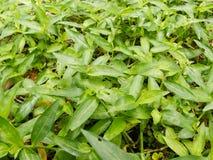 Hierbas verdes frescas en la tierra Fotos de archivo libres de regalías
