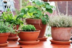 Hierbas y planta de la baya en el balcón