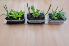 Hierbas y verdura crecientes en casa Foto de archivo
