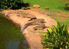 Hierd dos crocodilos do Nilo que encontra-se na grama África do Sul Fotos de Stock Royalty Free