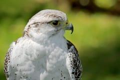 Hierofalcon stock photography