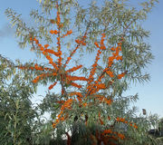 Hieroglyph. Buckthorn tree looks like chinese hieroglyph Royalty Free Stock Photography