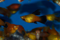 Hifin Platy Group. The Hi Fin Platy, also known as the Moonfish or the Southern Platyfish, is a hybrid fin variation of Xiphophorus maculatus platy. Hi Fin stock photos