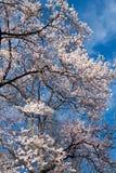 Higan floreciente Cherry Tree Imágenes de archivo libres de regalías
