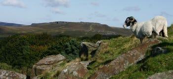 Higger Felsen mit einem Schaf, das außerhalb schaut Lizenzfreies Stockfoto