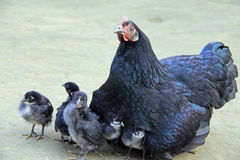 Higgledy Piggledy, My black hen! Royalty Free Stock Photo