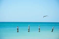 Higgs-Strandpier, Vogel, Seemöwe, Kormoran, hölzerne Stangen, Meer, Key West, Schlüssel Stockbilder