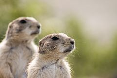High alert. 2 prairie dogs on high alert looking at the same direction Royalty Free Stock Image