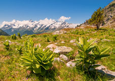 High Alpine meadow and plants. Plants and scenic open meadow high in the Alps mountains Stock Images