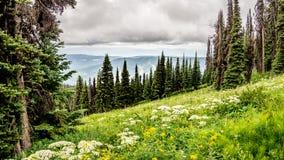 High Alpine Meadows and Valerian Flowers Stock Photos