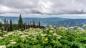 High Alpine Meadows and Wild Valerian Flowers Royalty Free Stock Image