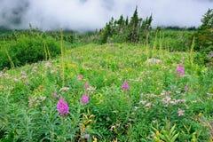 High alpine tundra flowers and heavy fog Royalty Free Stock Image