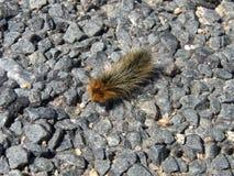 High Altitude Caterpillar. Caterpillar ambling across a pedestrian walkway at 12,000 feet in the Colorado Rocky Mountains royalty free stock image