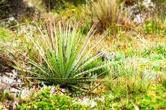 High Altitude Lichen. High Altitude Vegetation Llanganates National Park Ecuador royalty free stock images