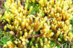 High Altitude Moss Stock Photography