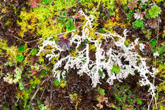 High Altitude Moss. High Altitude Algae And Mosses Llanganates National Park Ecuador royalty free stock image