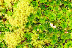 High Altitude Moss Stock Image
