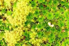 High Altitude Moss. High Altitude Algae And Mosses Llanganates National Park Ecuador stock image