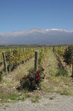 High altitude vineyards of Malbec Royalty Free Stock Photos