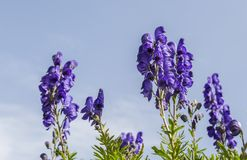 High Altitude Wildflowers. Close-up image of violet high altitude wildflowers Aconitum napellus against a blue sky in the Cirque de Troumouse, Pyrenees National Stock Images