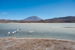 High Andes Lake with Flamingos, Bolivia Royalty Free Stock Image